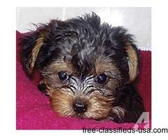 Free Gorgeous Yorkie Puppies For  FREE Adoption