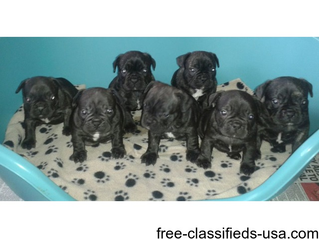 **beautiful Kc Reg Frenchbulldogs For Sale.** | free-classifieds-usa.com
