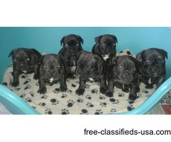 **beautiful Kc Reg Frenchbulldogs For Sale.**