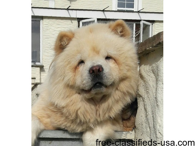 Beautiful Chow Chow Female For Sale - Animals - Albany