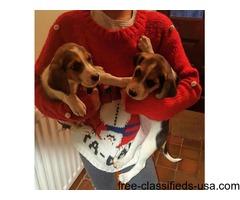 Beagle Pups Ready Now