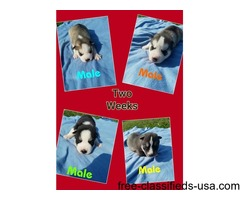 CKC registered husky puppies