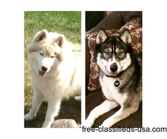 Upcoming akc siberian husky puppies