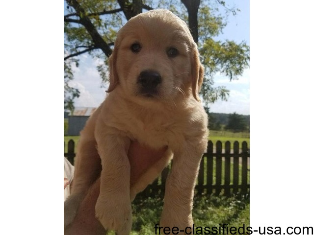 Home Raised Akc Golden Retrievers Animals Loveland Colorado
