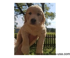 HOME RAISED AKC GOLDEN RETRIEVERS