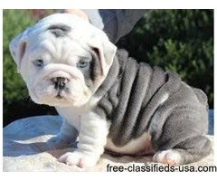 Wonderful English Bulldog Puppies For Adoption=