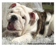 Loving English Bulldog puppies For Adoption