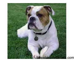 Bulldog puppies  For Adoption