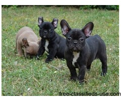 Quality Male and Female French Bulldog Puppies For Sale