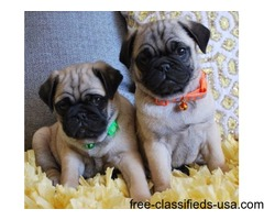 Awesome Male and Female Pug Puppies For Sale