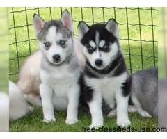 Siberian Husky Puppies Blue eyes Ready text (805) 633-8282