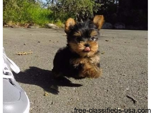 Tea Cup Male And Female Yorkshire Terrier Puppies For Sale Animals