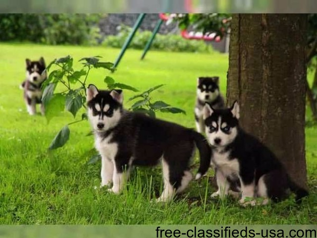 Adorable Blue Eyed Siberian Husky Puppies For Sale Animals