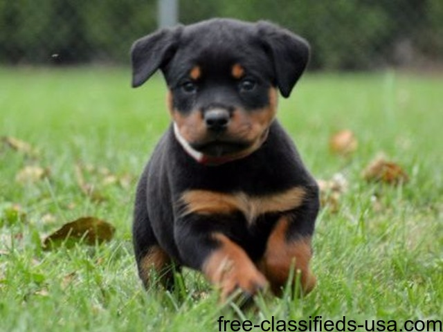 German Male And Female Rottweiler Puppies For Sale Animals
