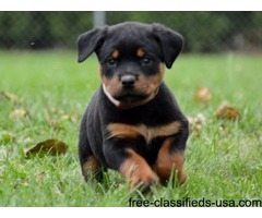 German Male and Female Rottweiler Puppies For Sale
