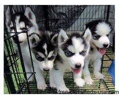 Siberian husky puppies available text (805) 633-8282