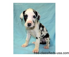 Powerful Male and Female Great Dane Puppies For Sale