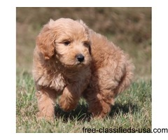 Charming Male and Female Golden Doodle Puppies For Sale