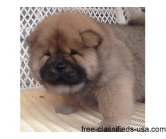 Brilliant Male and Female Chow Chow Puppies For Sale
