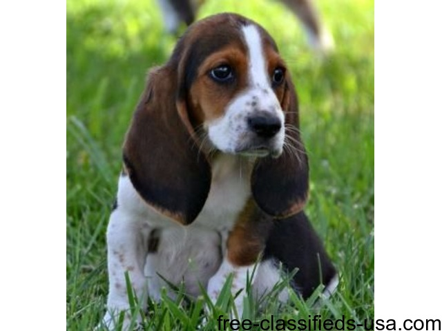 Miraculuos Male And Female Basset Hound Puppies For Sale