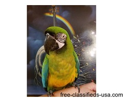 2 Lovely macaw parrots Available Now
