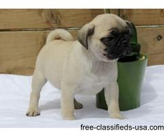Beautiful friendly full breed female AKC registered Pug