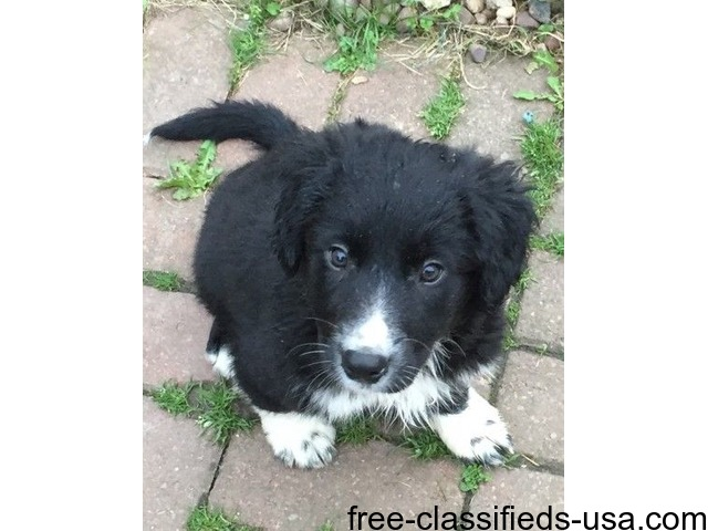 Border Collie Puppies For Sale  - Animals - Ashley