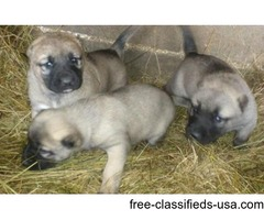 Import Turkish Kangal Puppies