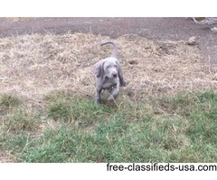 Weimaraner Puppies Kc Reg