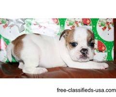 Bulldog pups for rehoming