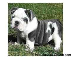 6 week old American bulldog puppies