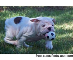 special English bulldog puppies