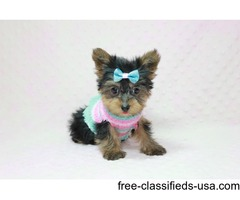 Gorgeous Two Teacup Yorkie Puppies for pet lovers