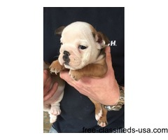 We have four (males and females) English bulldog puppy