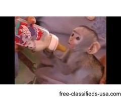 Marmoset  Monkeys for adoption