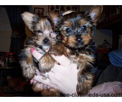 Charming Male and Female Yorkie Puppies for sale...