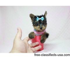Akc reg teacup yorkie puppies
