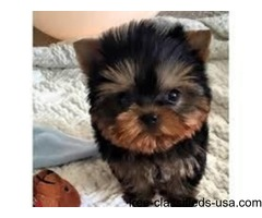 Outstanding Male And Female Teacup Yorkie Puppies