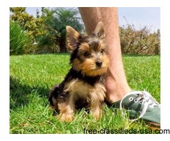 T-cup yorkie Puppies for sale!