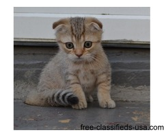 Adorable Scottish Fold Boy for Sale