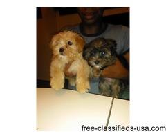 Yorkshire terrier/Affenpincsher Mix puppies