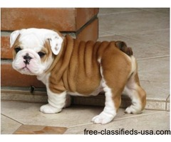 We have four (male and 3 females) English Bulldog Puppies For Adoption