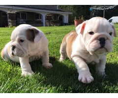 We have four (male and female) English Bulldog
