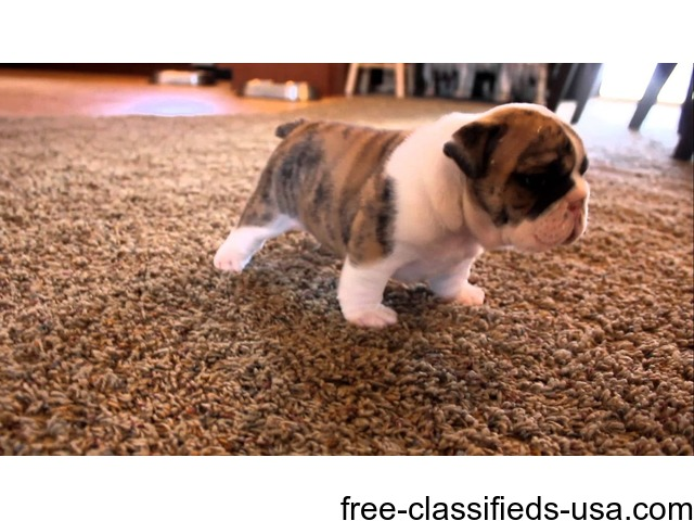I have available 2 English Bulldog Puppies. | free-classifieds-usa.com