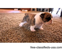 I have available 2 English Bulldog Puppies.