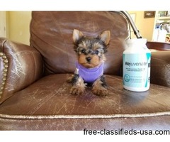 Gorgeous Tiny Yorkshire Terrier Puppies For Adoption.