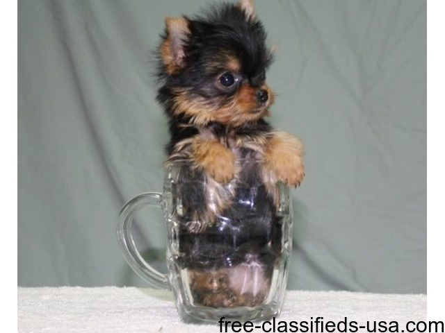 Good Looking Yorkshire Terrier Puppies. | free-classifieds-usa.com