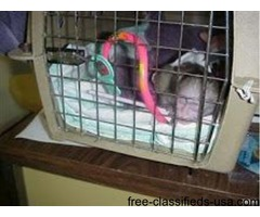 marmoset mokeys babies for ddoption