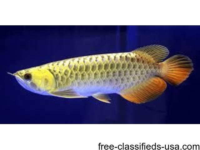 Premium quality arowana fish available for sale animals for Arowana fish for sale online