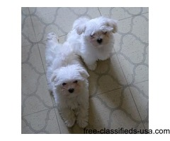 two maltese puppies ready now for adoption